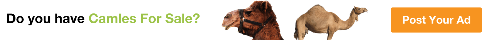 Camels for Sale in Northern Governorate
