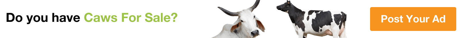 Cows for Sale in Buraimi