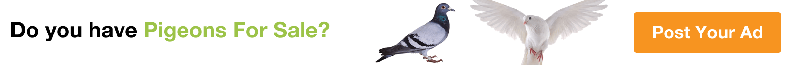 Pigeon for Sale in Buraidah